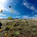 Sun flowers on the island.- Antelope Island State Park