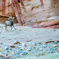 This is bighorn country. You may spot them high on the rocks, or right next to you!- Buckskin Gulch Hike