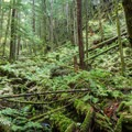 Descending through a mossy forest between Edith Lake and Alice Lake.- Four Lakes Trail Hike