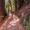 Redwoods on the Skyline-to-the-Sea Trail.- Skyline-to-the-Sea Hike: Saratoga Gap to Big Basin Headquarters