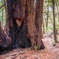 Redwoods along the Skyline-to-the-Sea Trail.- Skyline-to-the-Sea Hike: Saratoga Gap to Big Basin Headquarters