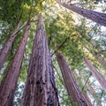Redwoods on the Skyline-to-the-Sea Trail.- Skyline to the Sea Trail: Saratoga Gap to Big Basin Headquarters