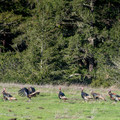 Flock of turkeys.- Moore Creek Preserve Hiking Trails