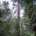 Towering redwood.- Redwood Hiking Trail