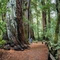 Redwood Trail.- Redwood Hiking Trail