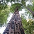 Sequoia sempervirens at Big Basin State Park.- Redwood Hiking Trail