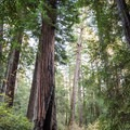 Chimney Tree.- Redwood Hiking Trail
