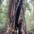 Chimney Tree on the Redwood Trail.- Redwood Hiking Trail