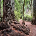 Redwood burl.- Redwood Hiking Trail
