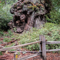 Interpretive trail marker.- Redwood Hiking Trail