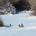 A group of chukar scour the snowy ground for food at the campground.- Hart Mountain National Antelope Refuge