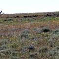 The extensive grasslands provide a refuge for huge herds of pronghorn antelope.- Hart Mountain National Antelope Refuge