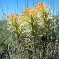 Colorful paintbrush brightens up the sage-covered hills.- Hart Mountain National Antelope Refuge