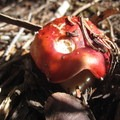 Emetic russula mushroom: pretty, but not edible.  - Maybird Lakes Hike