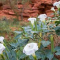 Moonflowers in the canyon.- Kane Creek Camping