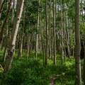 Dense aspens keep the Burlfriends Trail cool.- Burlfriends Trail Hike