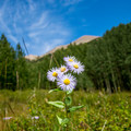 Alpine wildflowers bloom throughout the summer.- Burlfriends Trail Hike