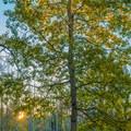 Sunset on fall aspens.- Burlfriends Trail Hike