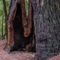 Old-growth redwood on the Skyline-to-the-Sea Trail.- Skyline-to-the-Sea Hike: Saratoga Gap to Big Basin Headquarters