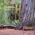 Old-growth redwood in Big Basin Headquarters.- Skyline to the Sea Trail: Saratoga Gap to Big Basin Headquarters