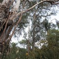 Eucalyptus trees near the entrance of Temescal Gateway Park.- Temescal Gateway Park