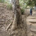 California sycamore at the Temescal Ridge Trailhead.- Temescal Ridge Trail Hike