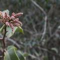 Sugar bush (Rhus ovata) along the Temescal Ridge Trail.- Temescal Ridge Trail Hike