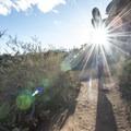 Coastal prickly pear (Opuntia littoralis) along the Temescal Ridge Trail.- Temescal Ridge Trail Hike