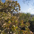 Unidentified species (help us identify us by providing feedback).- Griffith Observatory Hike via East Observatory Trail