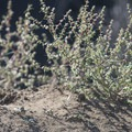 Prickly Russian thistle (Kali tragus) along the Charlie Turner Trail.- Mount Hollywood Hike via Charlie Turner Trail