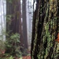 Second-growth redwoods are still beautiful.- Phleger Estate Loop Hike