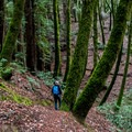 The green of the rich moss is blinding.- Phleger Estate Loop Hike