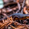 California newt.- Phleger Estate Loop Hike