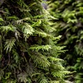 Moss grows thickly on many of the trees.- Phleger Estate Loop Hike