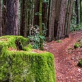 Many 150-year-old stumps are still visible.- Phleger Estate Loop Hike