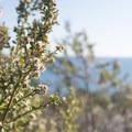 Coyote brush (Baccharis pilularis) at Malibu Buffs Park.- Malibu Bluffs Park