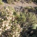 Coyote brush (Baccharis pilularis) at Point Dume State Beach.- Point Dume State Beach