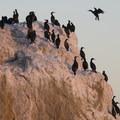 Double-crested cormorants (Phalacrocorax auritus) at El Matador State Beach.- El Matador State Beach