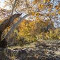 California sycamore along the trail to Rock Pool, Malibu Creek State Park.- Rock Pool Swimming Hole