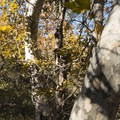 California sycamore (Platanus racemosa).- M*A*S*H TV Set Hike
