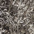 White sage (Salvia apiana) along the Chaparral Trail.- Chaparral Trail Loop Hike