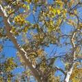 California sycamore (Platanus racemosa).- Chaparral Trail Loop Hike