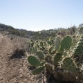 Coastal prickly pear (Opuntia littoralis) along the Nicholas Flat Trail.- Nicholas Flat to Willow Creek Loop Hike