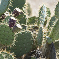 Coastal prickly pear (Opuntia littoralis) along the Willow Creek Trail.- Nicholas Flat to Willow Creek Loop Hike