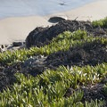 Sea figs (Carpobrotus chilensis) at Dan Blocker State Beach.- Dan Blocker State Beach