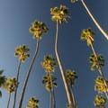 Palms at Palisades Park, Santa Monica.- Palisades Park, Santa Monica