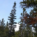 View of a gray jay in a tree. - The Loch Vale Snowshoe