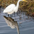 Many birds call the lagoon home, such as this egret.- Lagoon Loop Trail