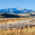 Sheep herd with Wilson Peak (14,252 ft.) in the background.- Last Dollar Road