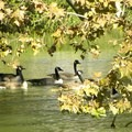 A gaggle of geese enjoying the lake.- Southside Community Park